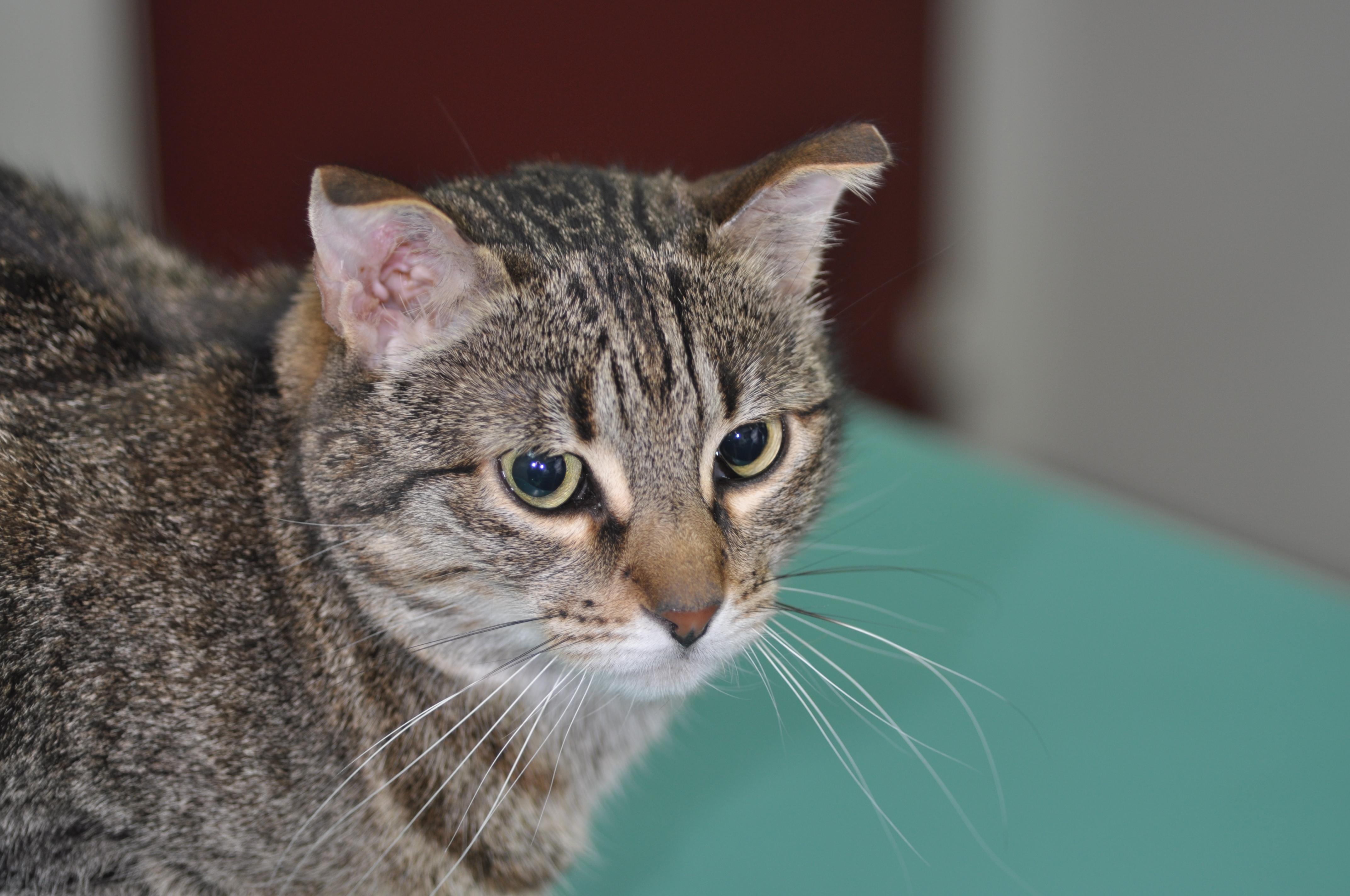 Effets secondaires de la corticoth rapie chez le chat advetia - Perte de poils chez le chat ...