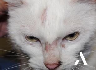 Dermatophytose chat