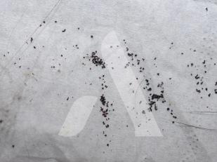 Déjections de puces brunes déposées sur un papier absorbant
