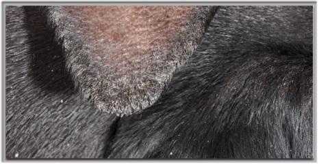 Hyperkératose marginale avec fissurations (vasculopathie ischémique)