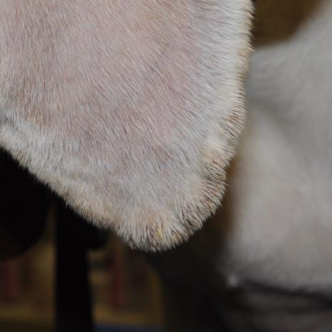 HYperkératose marginale chez un chien hypothyroïdien