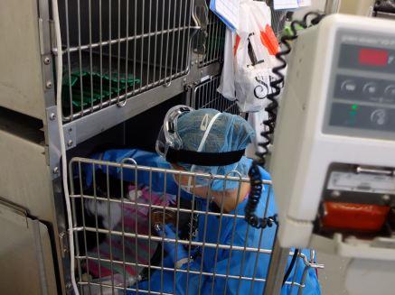Soins à un animal hospitalisé pour chimiothérapie